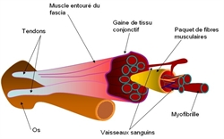 micro-lesions-musculaire