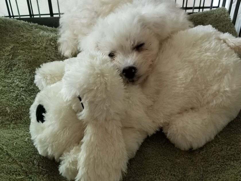 Bichon Frise puppy | Life with a new puppy | Calm a new puppy