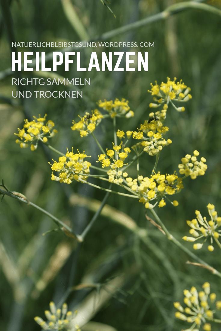 HeilpflanzenSammelnTrocknen1