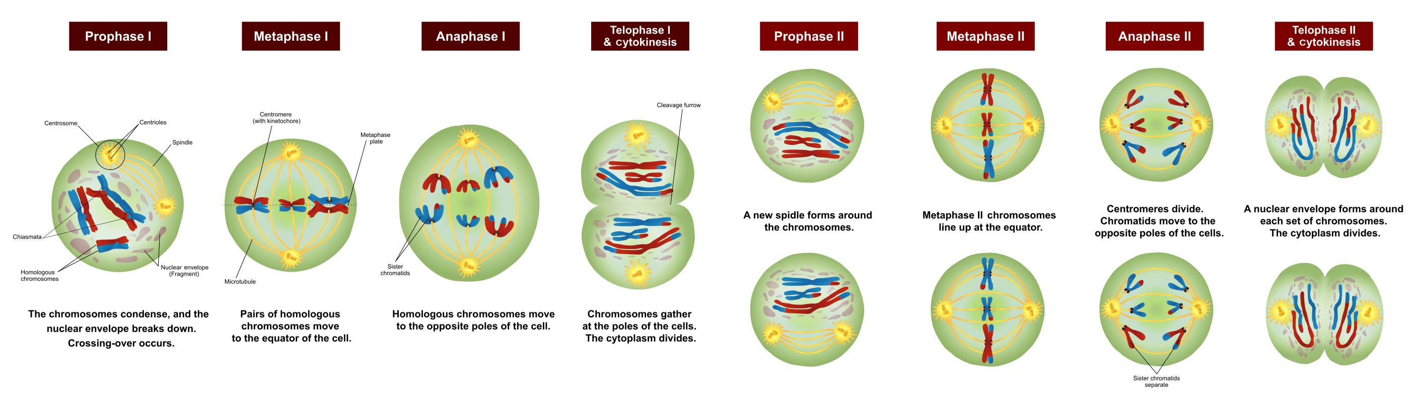 simple diagram of meiosis mk 3 gang 2 way light switch wiring cell division and reproduction it 39s a natural universe