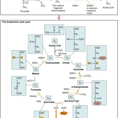 Glycolysis And Krebs Cycle Diagram Auto Charging System Wiring Making Energy Available  Cellular Respiration It 39s A
