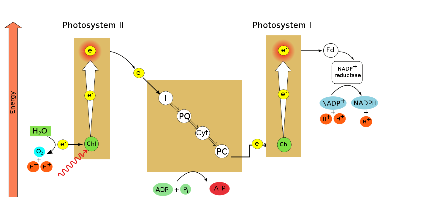 photosynthesis z scheme diagram 2007 club car precedent gas wiring storage of solar energy by plants it s a natural photophosphorylation author after kratz