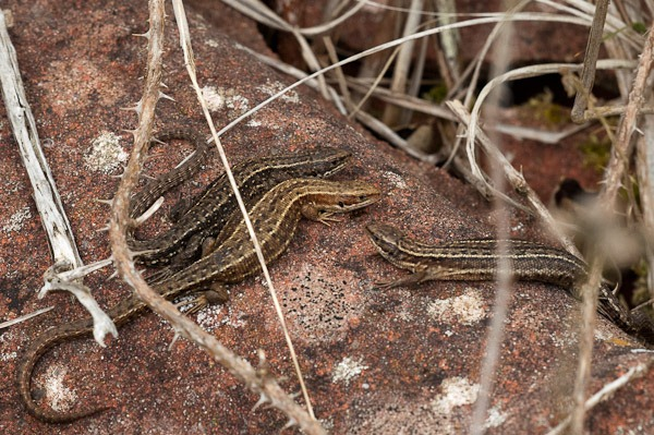 Basking Common Lizards