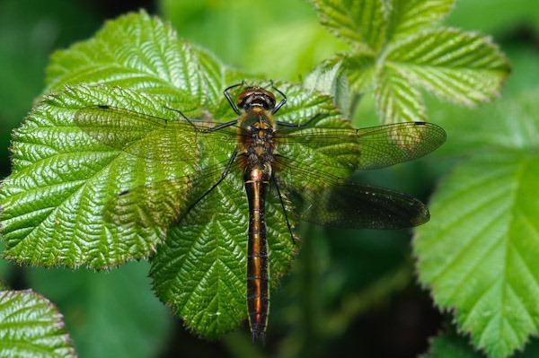 Downy Emerald Dragonfly