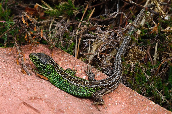 Sand Lizard (male) at Higher Hyde Heath