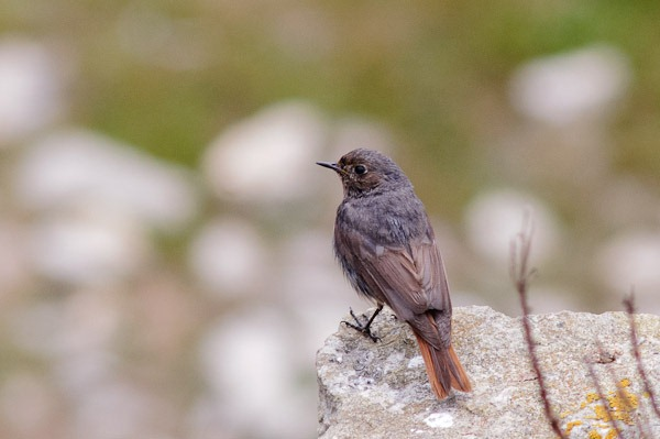 Black Redstart (male).