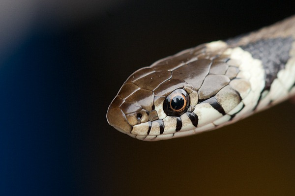 A young Grass Snake at Arne