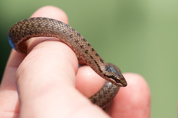 Young Smooth Snake found on the reptile ramble at Arne