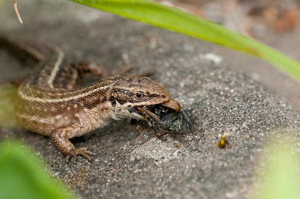 Common Lizard at Higher Hyde Heath