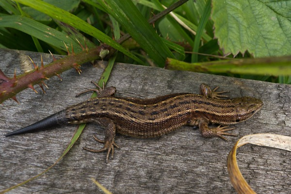 Common Lizard with regrown tail