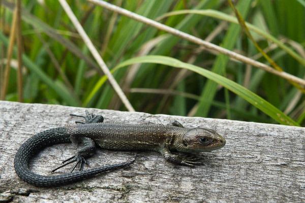 Immature Common Lizard