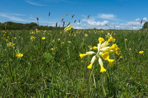 Cowslips at Durlston Country Park