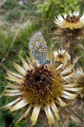 Carline thistle and Common Blue