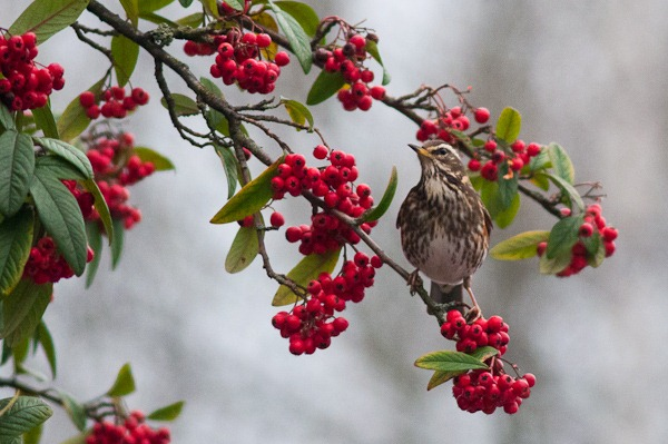 Redwing on Cotoneaster at Heaton Moor