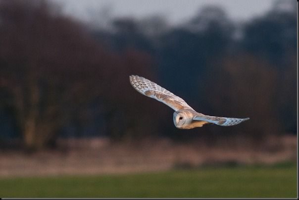 Barn Owl at dusk