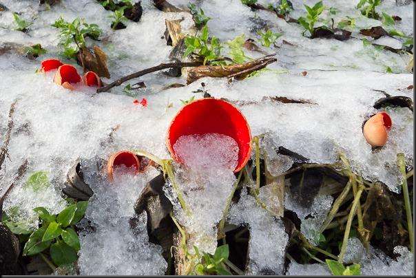 A slightly wider shot of the Scarlet Elfcups