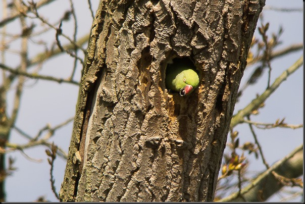 Rose-ringed Parakeet emerging from nest hole