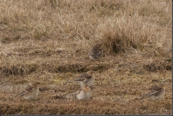 A distant photo of some Twite just south of Southport