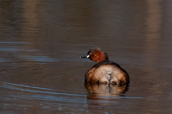 Dabchick at Meresands Wood