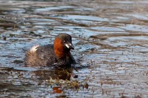 Dabchick swimming amongst the weeds