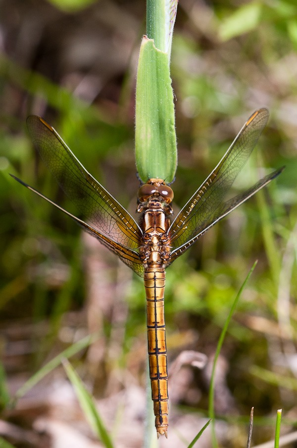 Keeled Skimmer (female) at Higher Hyde Heath
