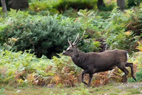 Sika Stag at Arne