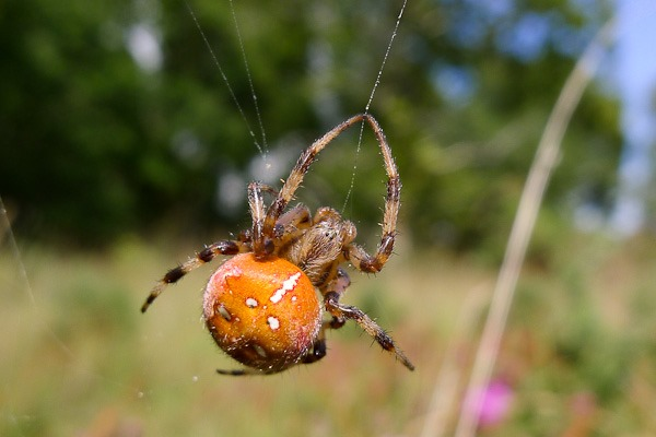 The Four Spotted Orb Weaver the heaviest spider in the UK