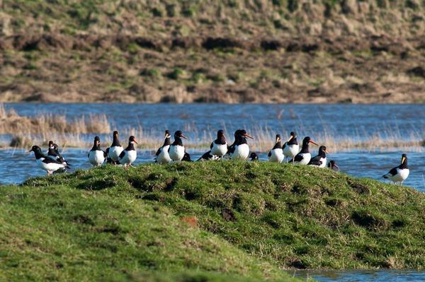 Oystercatchers on a grassy island