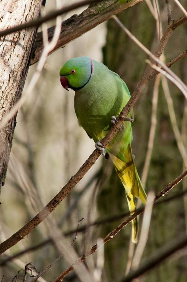 Ringed necked Parakeet in Stenner Woods, Didsbury