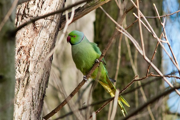 Ringed necked Parakeet -  Stenner Woods