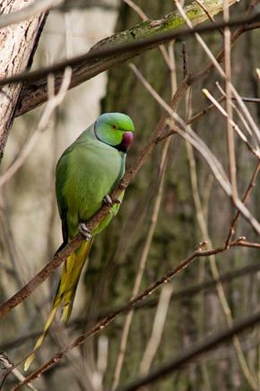 Ringed necked Parakeet