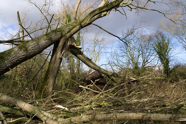 Crack Willow destroyed in the recent storms