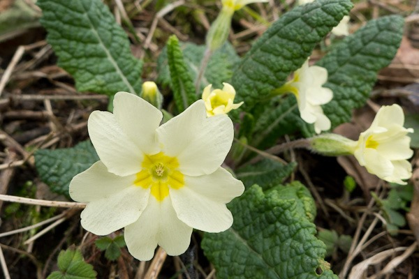 It wouldn't be Spring without a Primrose