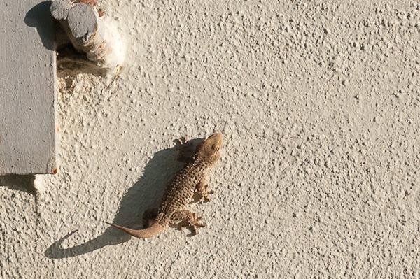 Mediterranean House Gecko – Sorrento, Italy