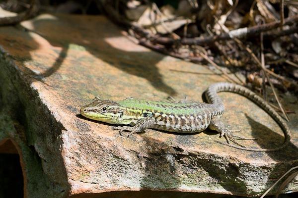 Italian Wall Lizard – Sorrento, Italy