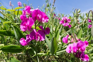 Broad-leaved everlasting pea