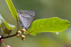 Purple Hairstreak amongst the Alder Buckthorn