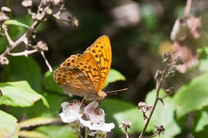 Silver Washed Fritillary feeding on Bramble.