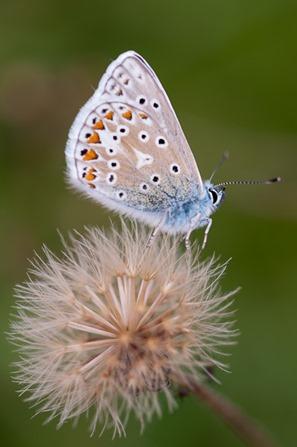 Chalkhill Blue on a seedhead.