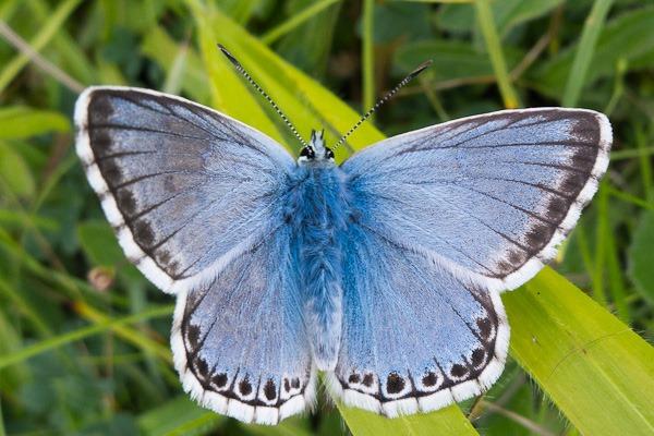 Chalkhill Blue (male), Badbury Rings