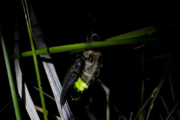 Glow-worms mating at Durlston Country Park