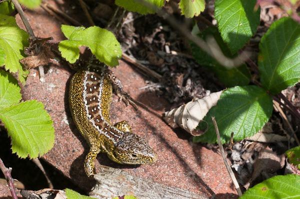 Male Sand Lizard at Higher Hyde Heath