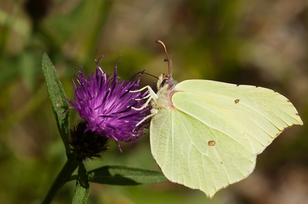 Brimstone on Black Knapweed at Jack Scout