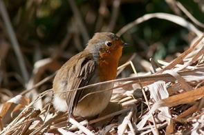 Robin preening and sunbathing