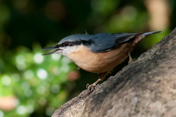 Nuthatch at Leighton Moss.