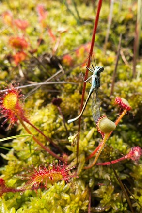 Round leaved Sundew and Damselfly