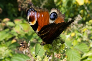 Worn Peacock Butterfly on Ivy