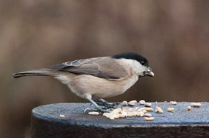 Marsh Tit and seed on the armrest of a bench