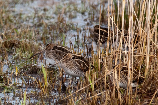 Snipe huddled together close to the Lower Hide a Leighton Moss