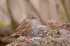 The unobtrusive Dunnock - again in the Alder and Willow Carr